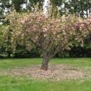 überall Japanische Kirschblütenträume