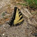 Schmetterling im Shenandoah NP