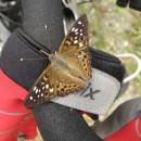 viele Schmetterlinge hier