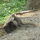freches Eichhörnchen