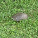 große Schildkröte am Wegesrand