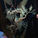 Fetzenfisch im Aquarium Ch.