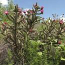 große Kakteen-Büsche über weite Flächen