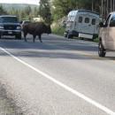 Ein Bison hat immer Vorfahrt