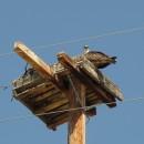 Ospreyjunges - schreit kläglich nach seiner Mama