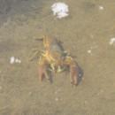 Flusskrebse gibt es auch