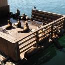 Seelöwen bis zum Abwinken