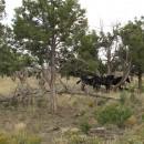 Wildpferde im Mesa Verde NP, vor ca 80 Jahren ausgebrochen