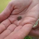 winzkröte