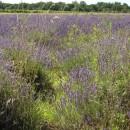 duftendes Lavendelfeld