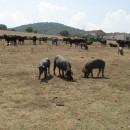 Schweine und Rinder auf einer Weide