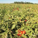 Tomatenfelder, die mit Vollerntemaschinen geerntet werden