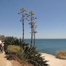blühende Agaven an der Küstenstraße