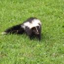 Stinktier vor dem Angriff