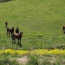 30.4.-15 Pferde und Kühe staunen über uns