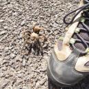 09.22.-06 Tarantula